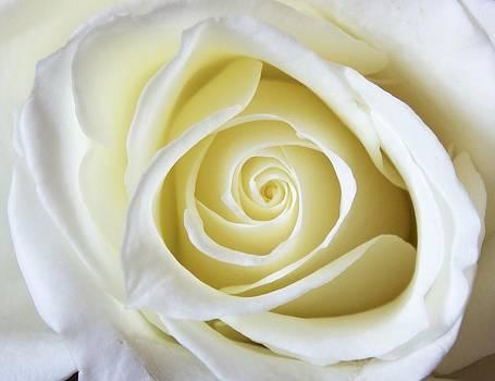 Jennifer Lamanca Kaufman - White Rose