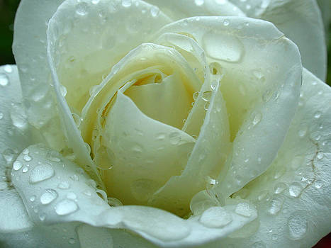 Juergen Roth - White Rose