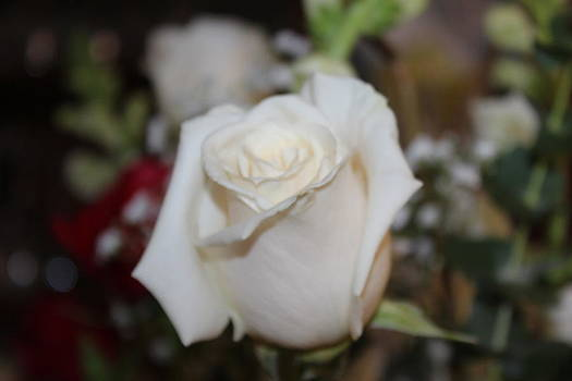 White Rose by Michelle Lawrence