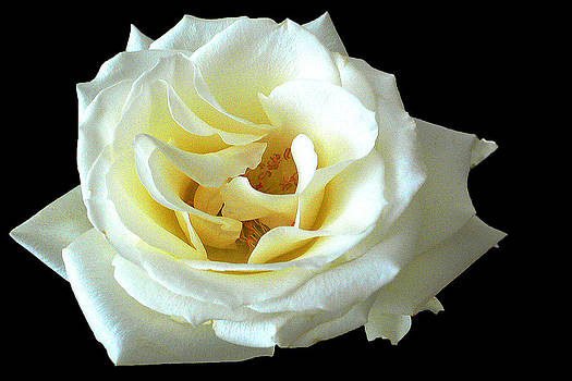 White Rose Number One by David Hamilton