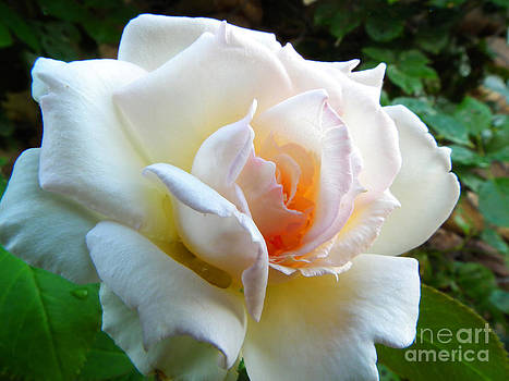 White Rose by Stefano Piccini