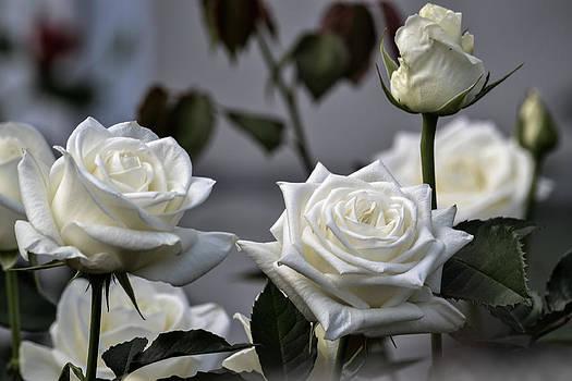 White Rose by Wanda J King