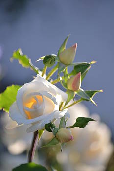 White Rose with Buds by Atul Daimari
