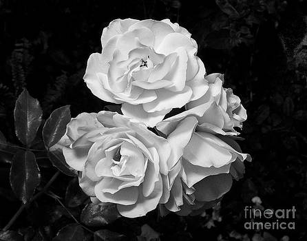 White Roses 1 by David Doucot