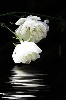 White Roses by Alena Bytcankova