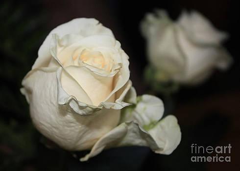 Danielle Groenen - White Roses