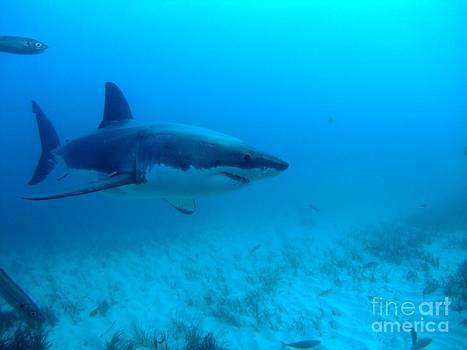White shark cruising the seafloor by Crystal Beckmann