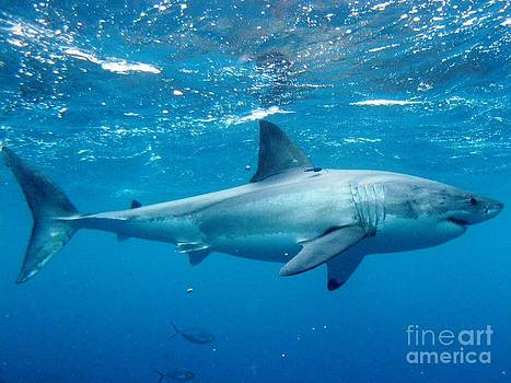 White shark surface by Crystal Beckmann