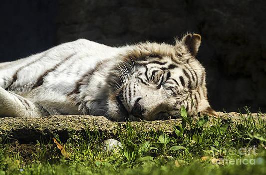 White Siberian Tiger by Pier Giorgio Mariani