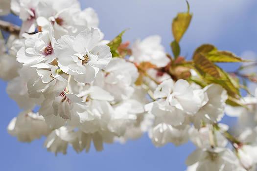 White Spring Blossom by Gillian Dernie