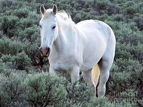 White Stallion amid Sagebrush by Craig Downer