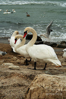 White Swans On Rocks Near Ocean by Alexandr  Malyshev