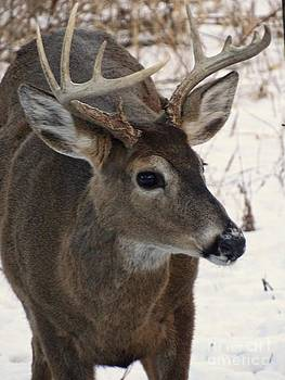 White Tail Buck by Scott B Bennett