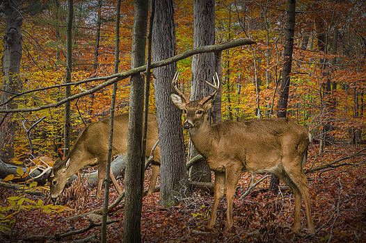 Randall Nyhof - White Tail Deer Bucks in an Autumn Woodland Forest