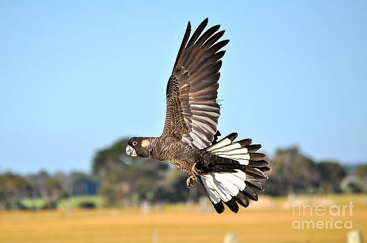 White Tailed Black Cockatoo in Flight by Coralie Plozza