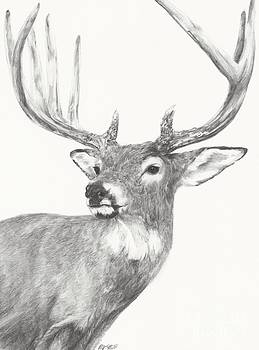 White tailed Buck study by Meagan  Visser