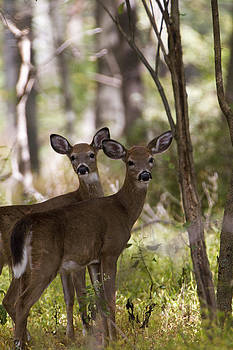 White tailed Deer by Bob Kemp