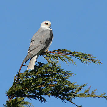 White-tailed Kite Perching by Bob and Jan Shriner