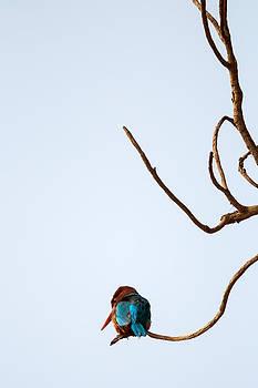 Gaurav Singh - White-throated Kingfisher