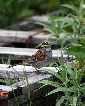 White Throated Sparrow by Kathy J Snow