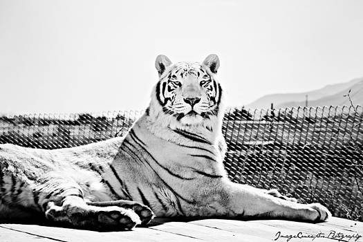 White Tiger by Emily Fidler
