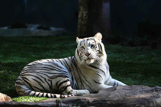 White Tiger by Kim French