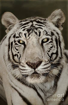 Dave Welling - White Tiger Portrait Wildlife Rescue