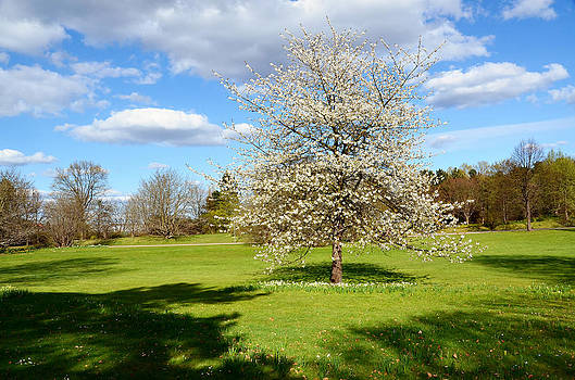Gynt   - White tree in spring