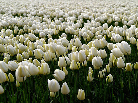 White Tulip field  by Luc Van de Steeg