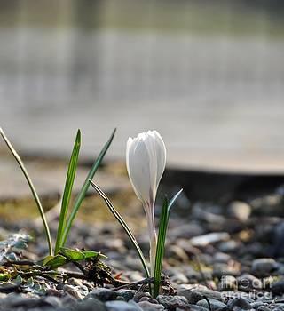 White Tulip by Paula Sharlea
