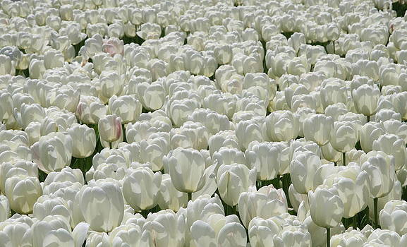 White tulips by Xanat Flores