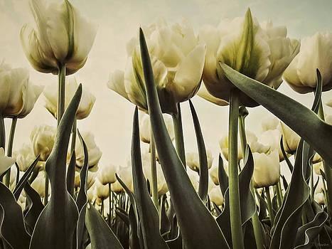 White Tulips by Yvon van der Wijk