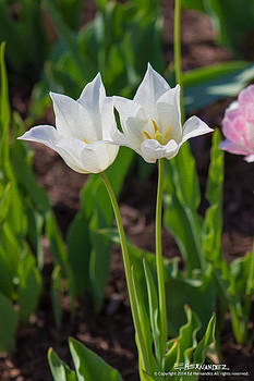 White Twin Flowers in the Sun by Ed Hernandez