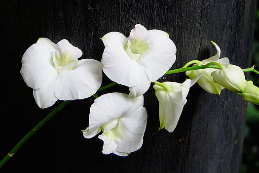 White Orchids by August Timmermans