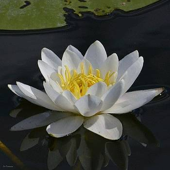 Eve Tamminen - White Water Lily