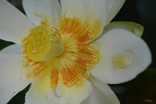 Patricia Twardzik - White Water Lily