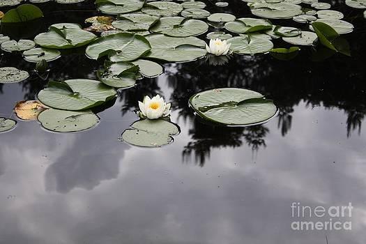 Danielle Groenen - White Waterlilies