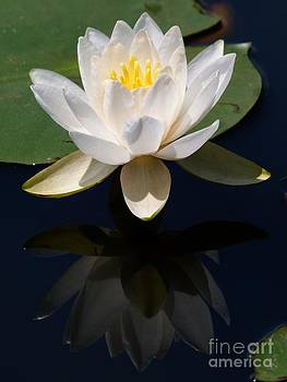Christine Stack - White Waterlily Reflection