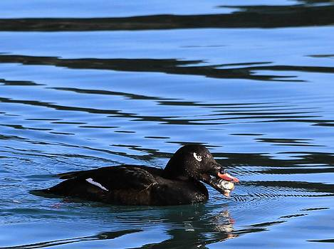 White Wing Scoter Eating A Clam by Sam Amato