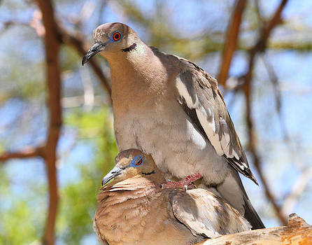 White Winged Doves Attempting To Mate by Old Pueblo Photography