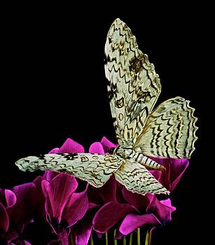 White Witch Moth resting at Midnight  by Leslie Crotty