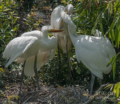 Dale Powell - Whites Herons