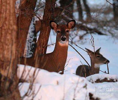Whitetail deer by Lori Tordsen