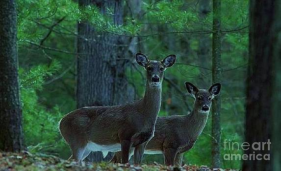 Whitetail Deer Pair by Diane Kurtz