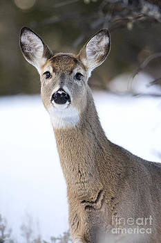 Whitetail Doe by Deby Dixon