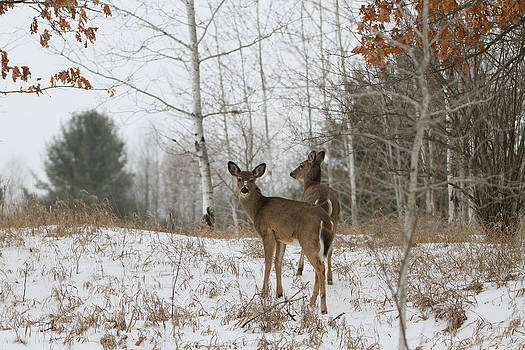 Whitetail Patch by Kevin Snider