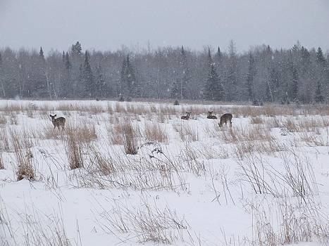 Gene Cyr - Whitetails in Snow
