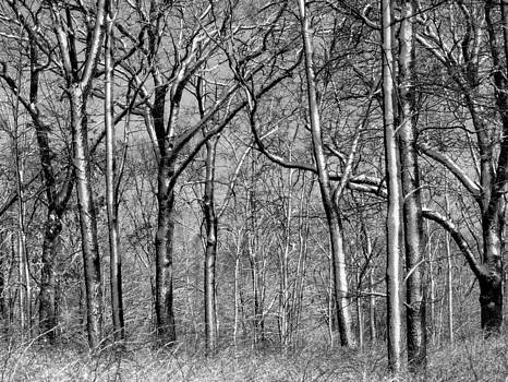 Rosanne Jordan - Whitewashed Winter Trees in black and white