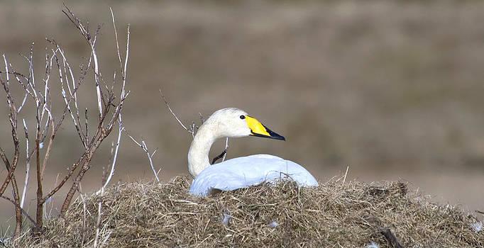 Whooper Swan Nesting by Sigurdur Aegisson