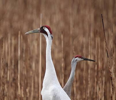Whooping Crane and Friend by John Dart